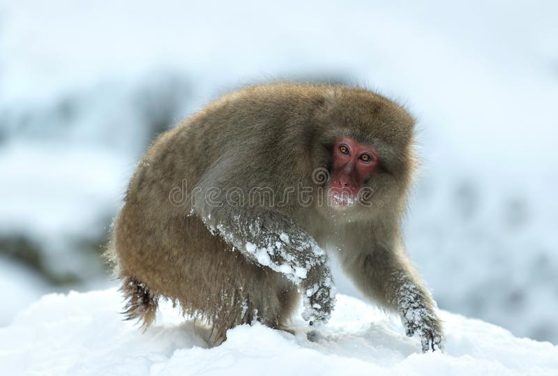 Japanese macaque on the snow. The Japanese macaque ( Scientific name: Macaca fuscata), also known as the snow monkey. Natural royalty free stock photos
