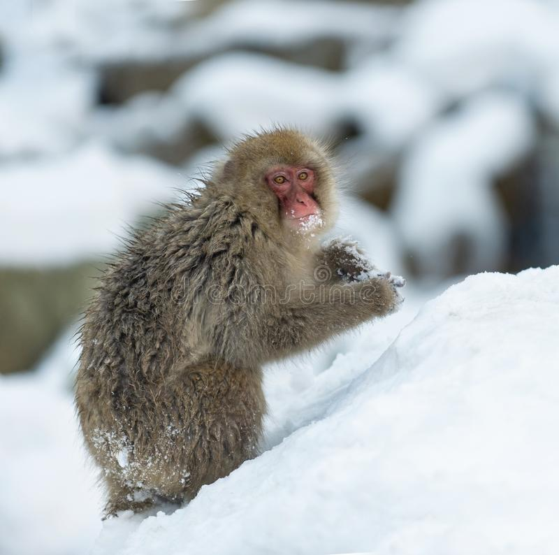 Japanese macaque on the snow. The Japanese macaque ( Scientific name: Macaca fuscata), also known as the snow monkey. Natural royalty free stock photography