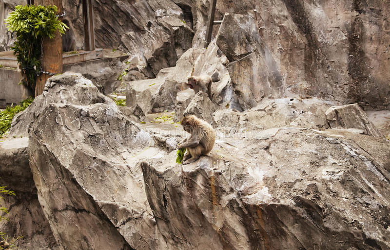 Japanese Macaque. At Ueno park in Tokyo stock image