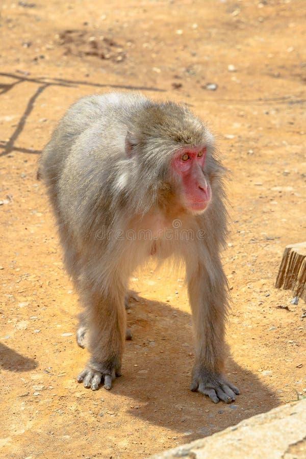 Japanese macaque walking royalty free stock photo