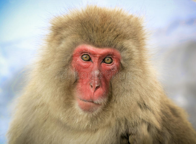 Japanese macaque. A weathered old Japanese macaque staring at viewer royalty free stock photography