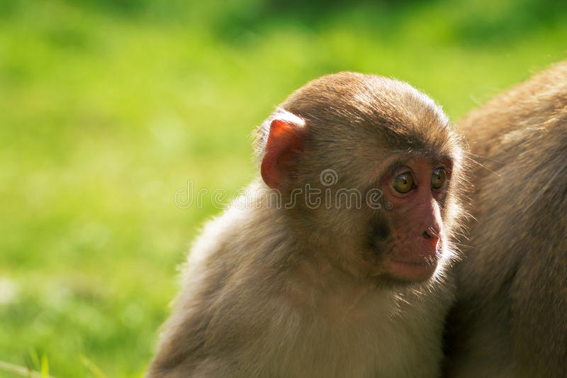 Japanese macaque young. Japanese macaque in forest. Child snow monkey. Endengeraged animal from IUCN. Little baby makak. Japan monkey stock photos