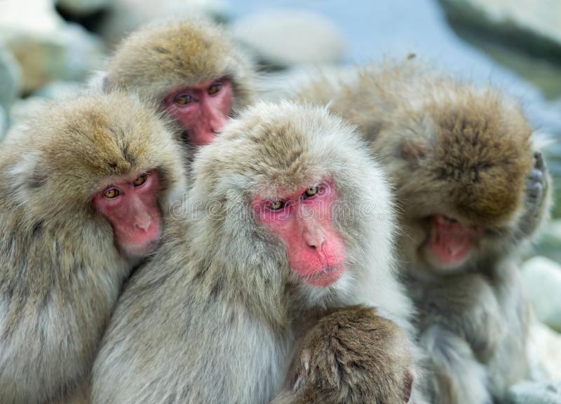 Japanese macaques. Close up group portrait. The Japanese macaque ( Scientific name: Macaca fuscata), also known as the snow monkey. Natural habitat, winter stock photography
