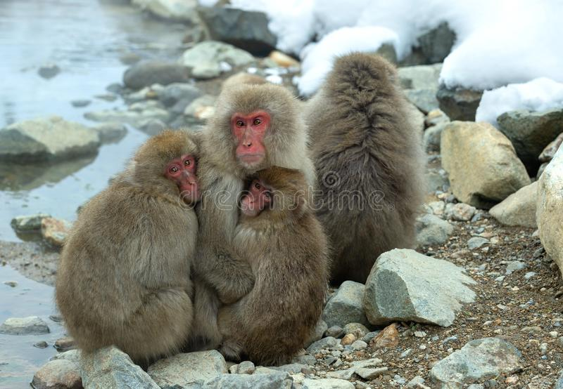 Japanese macaques Family. The Japanese macaque ( Scientific name: Macaca fuscata), also known as the snow monkey. Natural habitat royalty free stock photography