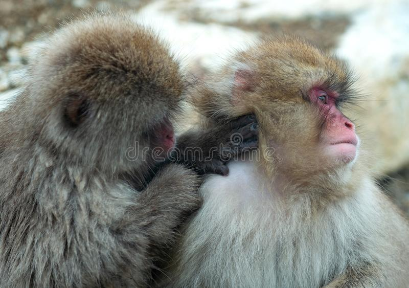 Japanese macaques is grooming, checking for fleas and ticks. Scientific name: Macaca fuscata, also known as the snow monkey. Natural habitat, winter season royalty free stock images