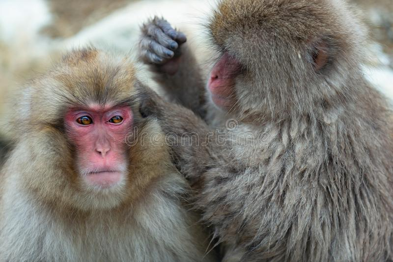 Japanese macaques is grooming, checking for fleas and ticks. Scientific name: Macaca fuscata, also known as the snow monkey. Natural habitat, winter season stock photography