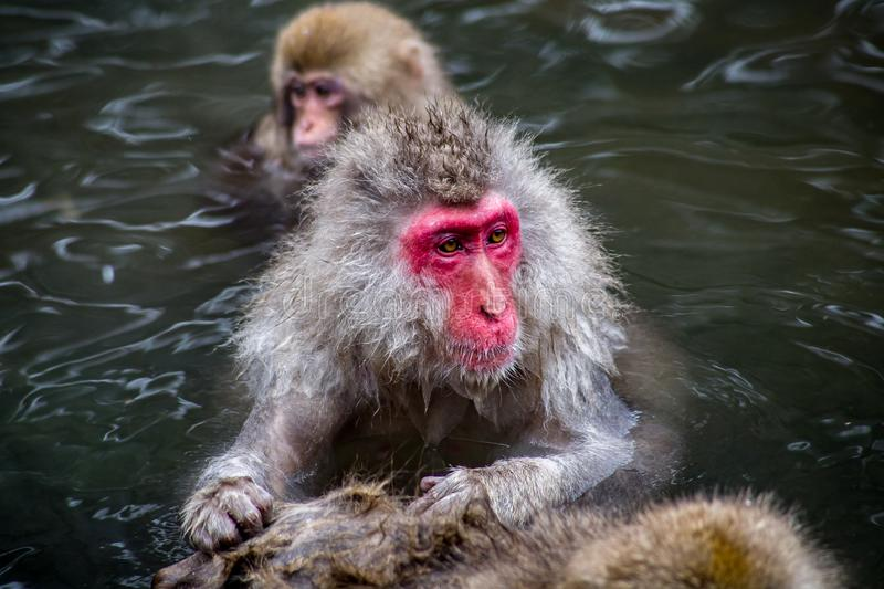 Japanese Macaques grooming in a hot spring. An adult Japanese Macaque grooms a fellow snow monkey while relaxing in the warmth of a natural hot spring pool royalty free stock photo