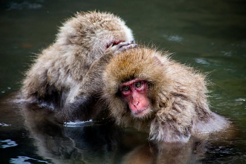 Japanese Macaques grooming in a natural spring. A pair of Japanese Macaques, or snow monkeys, groom while relaxing in a natural hot spring. These monkeys are the royalty free stock photos