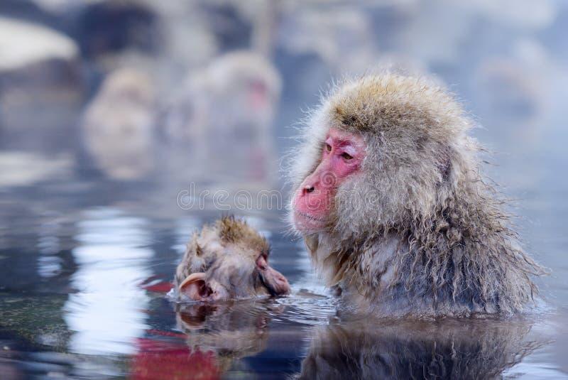 Japanese Macaques. Japanese Snow Monkeys (macaques) in Nagano, Japan royalty free stock photo