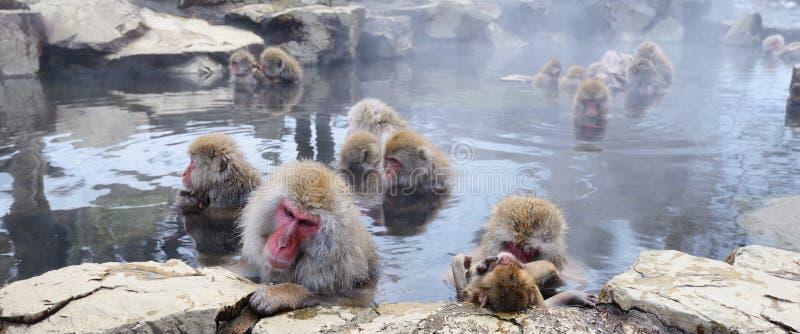 Japanese Macaques. Japanese Snow Monkeys (macaques) in Nagano, Japan stock photos