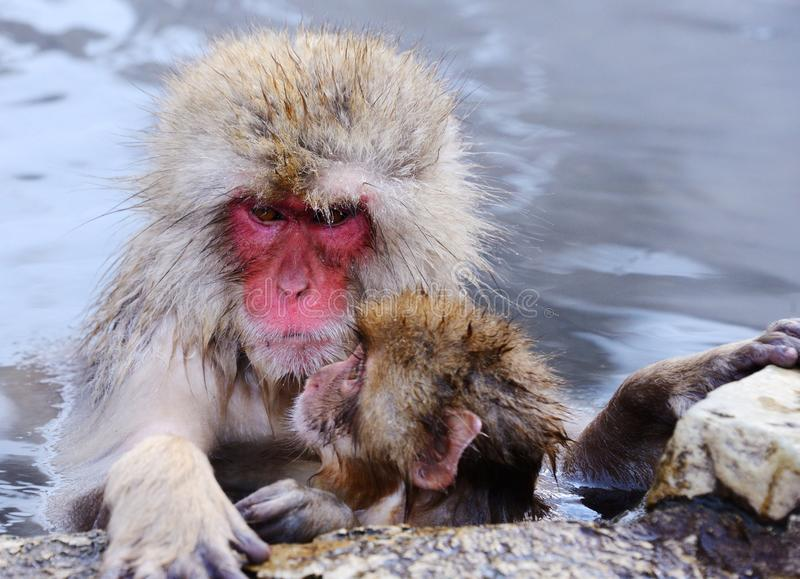 Japanese Macaques. Japanese Snow Monkeys (macaques) in Nagano, Japan stock images