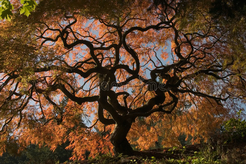 Download Japanese Maple stock photo. Image of twisted, maple, tree - 100646