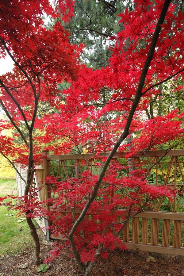 Free Japanese Maple Stock Images - 11631614
