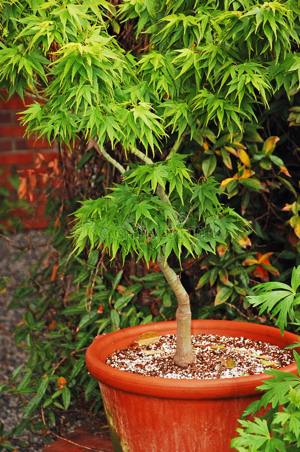 Download Japanese maple stock photo. Image of planter, maple, leaves - 19874538