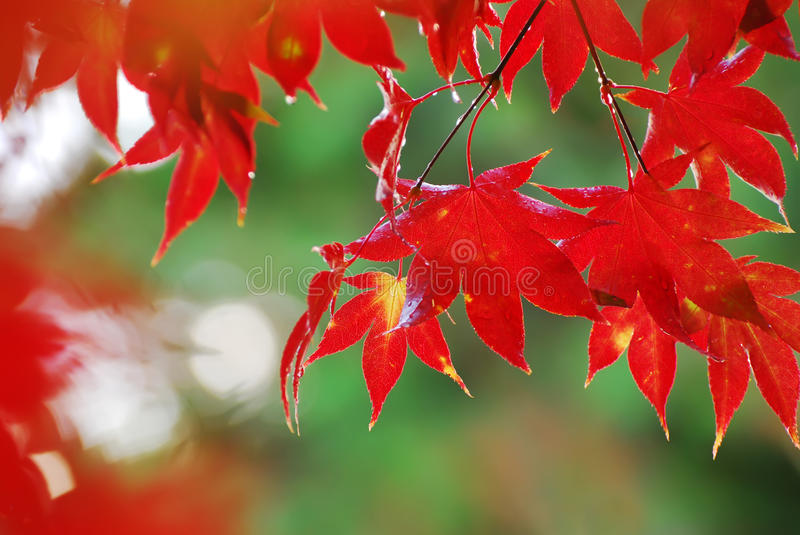 Download Japanese Maple Royalty Free Stock Photo - Image: 20091275