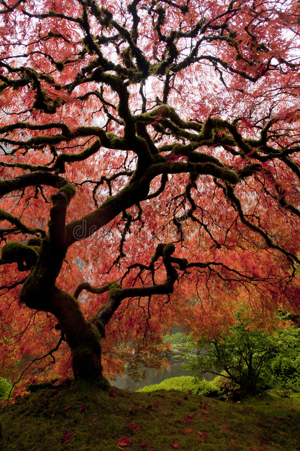 Japanese Maple royalty free stock photos
