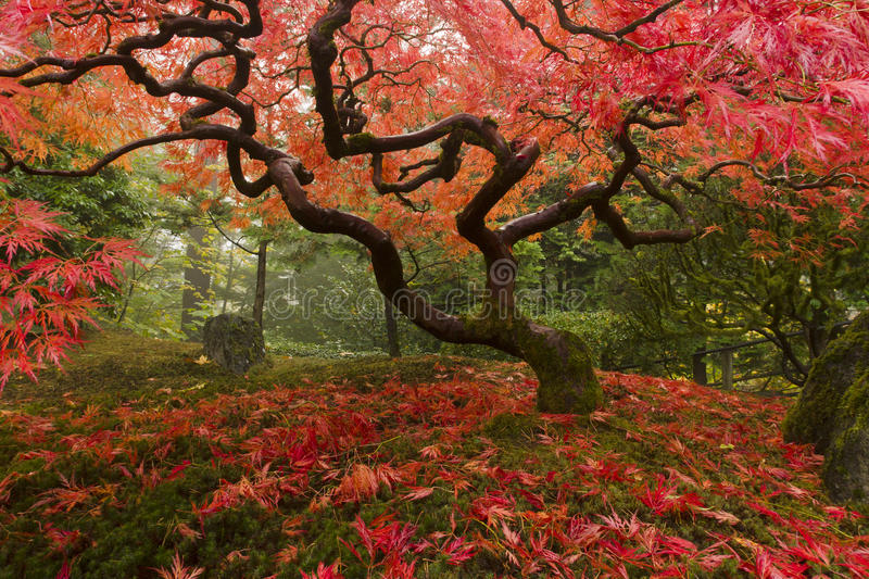 Download Japanese Maple stock photo. Image of paths, portland - 23730624