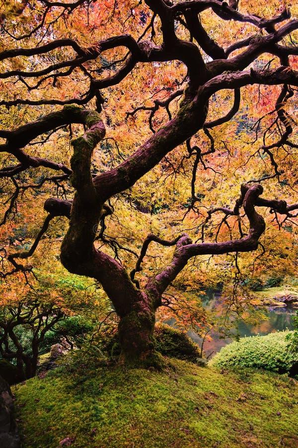 Free Japanese Maple Stock Images - 46117504