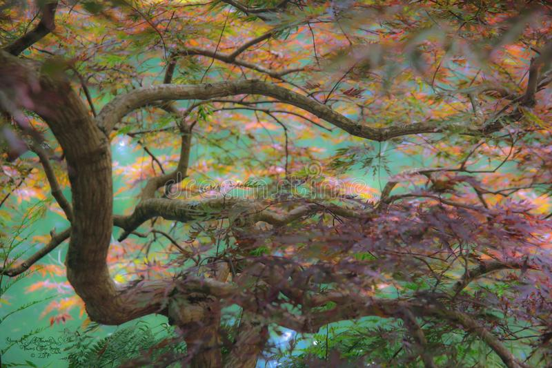 Japanese maple above green waters of the pond below. A view through the twisted branches of a Japanese maple on the banks of a pond reflecting the greens of stock image