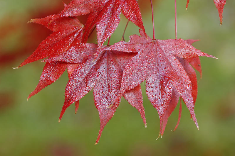 Japanese Maple - Acer palmatum. Ssp Amoenum royalty free stock image
