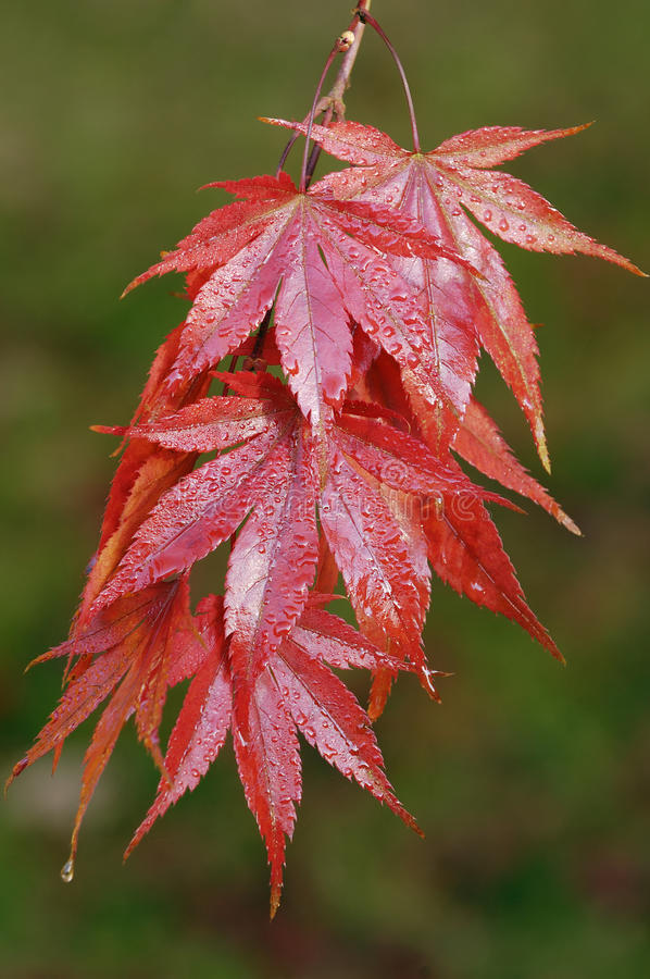 Japanese Maple - Acer palmatum. Variety Westonbirt Red stock image