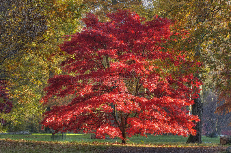 Japanese Maple - Acer palmatum. Red autumn colours Japanese Maple - Acer palmatum royalty free stock photo