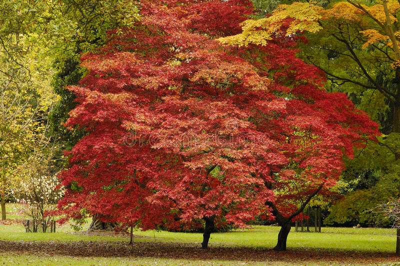 Japanese Maple - Acer palmatum. Ssp matsumarae stock images