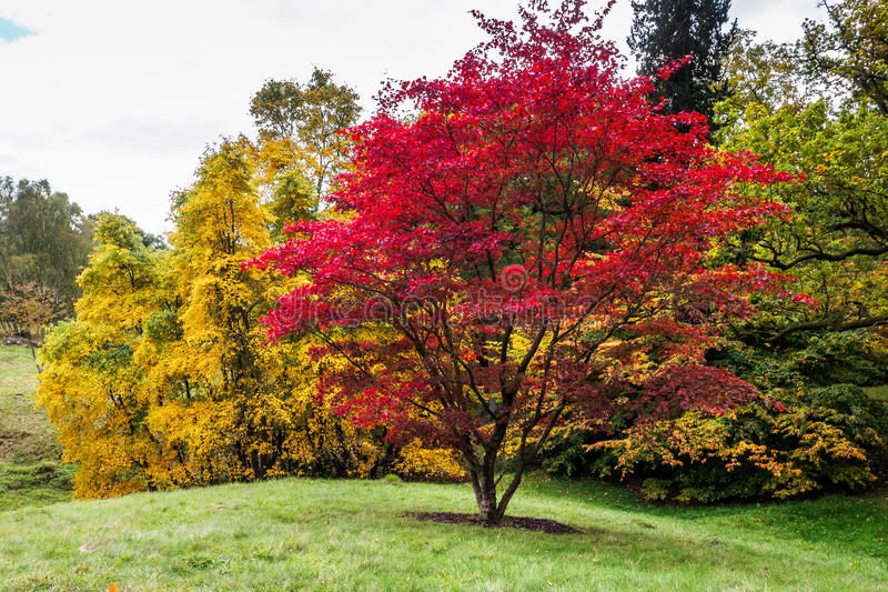 Japanese Maple (Acer palmatum). In Autumn Colours stock photography