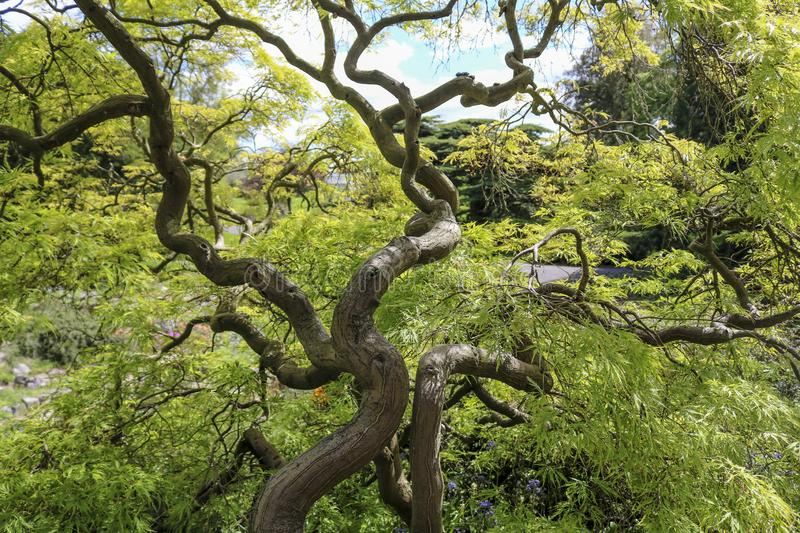 Japanese maple or Acer Palmatum. With bizarrely curved branches and trunk royalty free stock photo