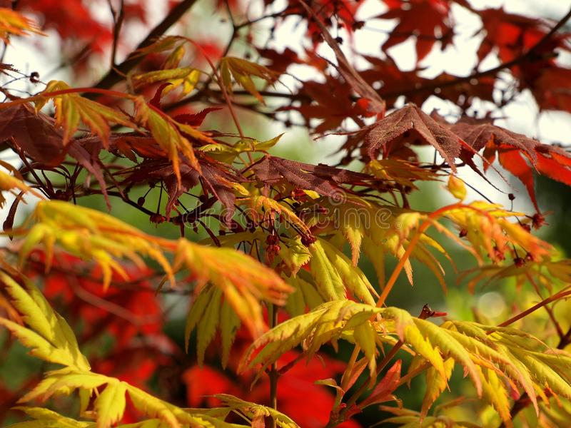 Japanese maple - Acer palmatum. Tree with beautiful red or orange color on the garden stock photo