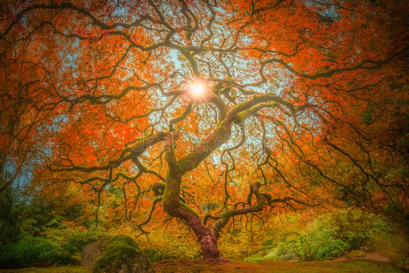 Japanese Maple in autumn colors pano. This is a panorama photograph of a Japanese maple in autumn colors royalty free stock photos