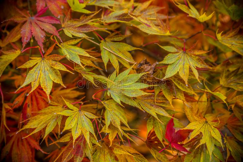 Japanese maple tree in autumn close up stock photos