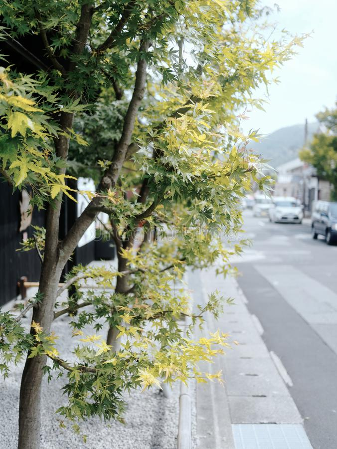 Japanese maple autumn leaves and trees on a beautiful old street in Kyoto stock image