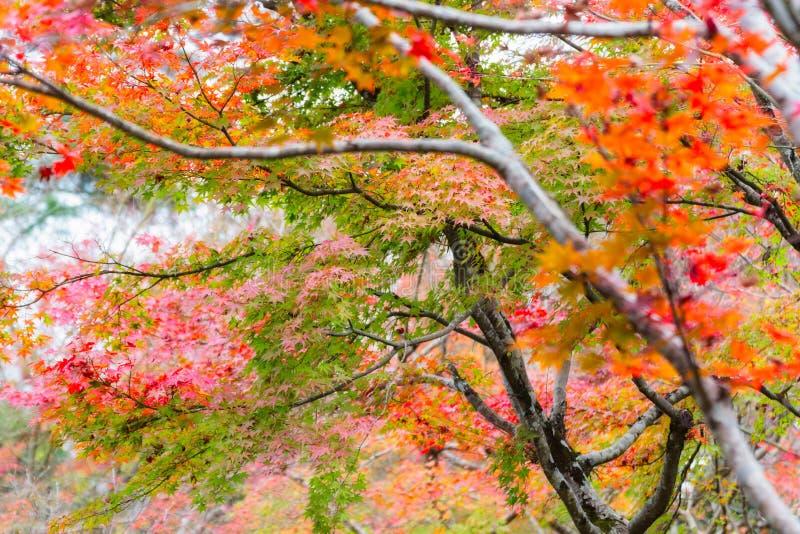 Japanese maple in autumn season for background ,Lake Kinrinko Yufuin Japan royalty free stock image