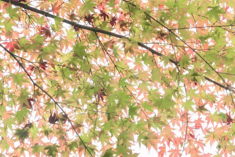 Japanese maple in autumn season royalty free stock image