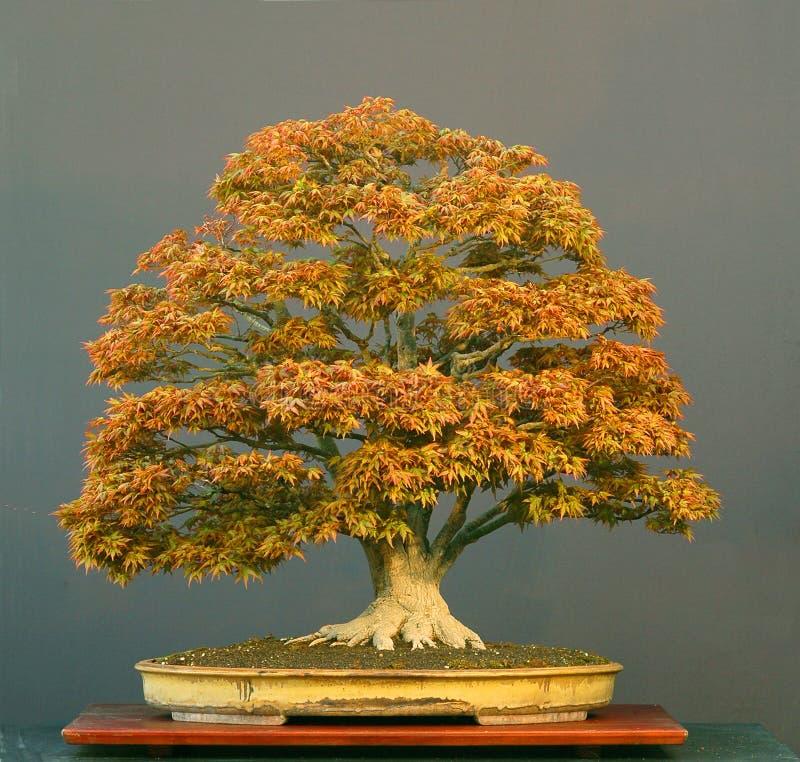 Japanese maple bonsai royalty free stock photography