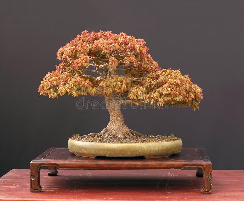 Japanese maple bonsai stock photo