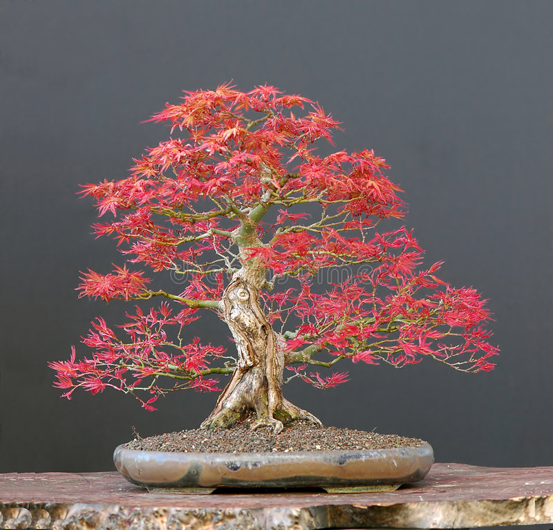 Download Japanese maple bonsai stock photo. Image of maple, plant - 2630876