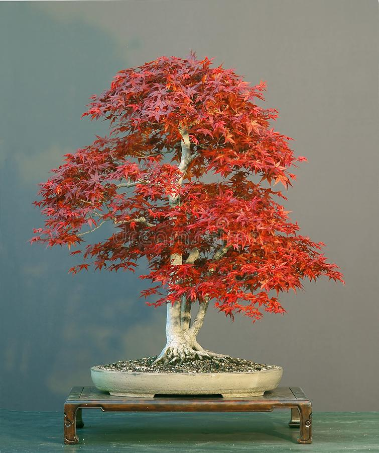 Japanese maple bonsai royalty free stock images