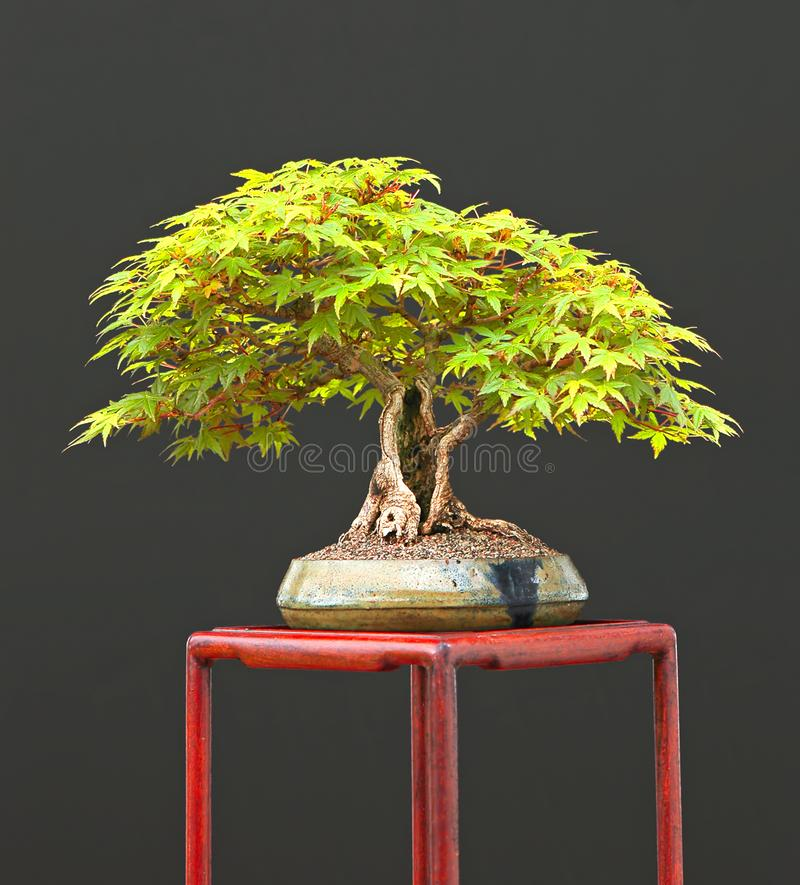 Japanese maple bonsai royalty free stock photo