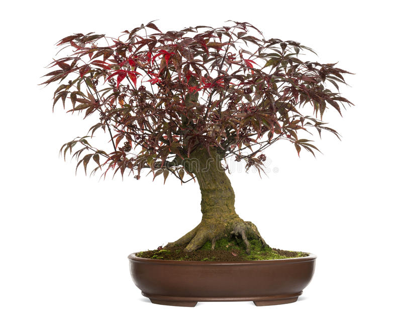 Japanese Maple bonsai tree, Acer palmatum, isolated. On white royalty free stock photo