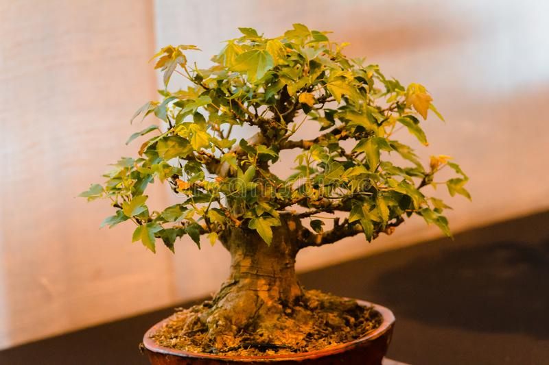 Japanese maple bonsai tree on display at a show in Grand Rapids Michigan. At the Frederik Meijer Gardens royalty free stock photo