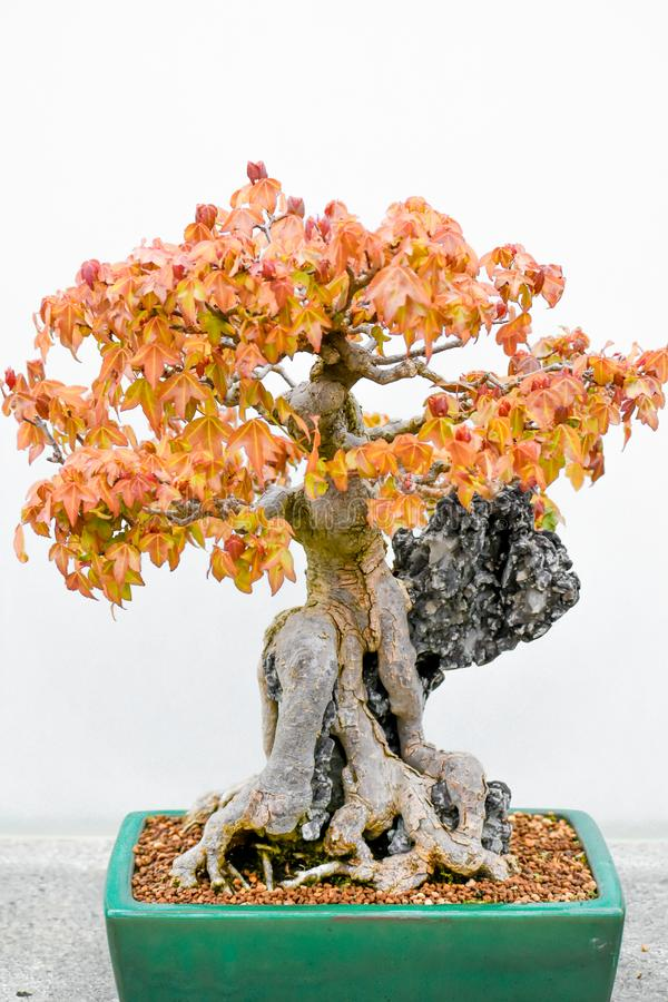 Free Japanese Maple Bonsai Tree In Planter Royalty Free Stock Images - 147926549