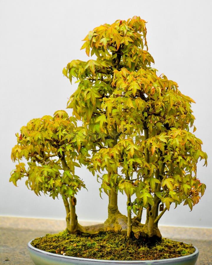 1 235 Maple Bonsai Photos Free Royalty Free Stock Photos From Dreamstime