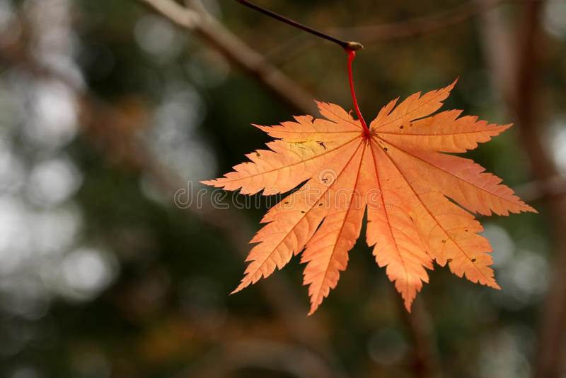 Japanese Maple Leaf Stock Photo