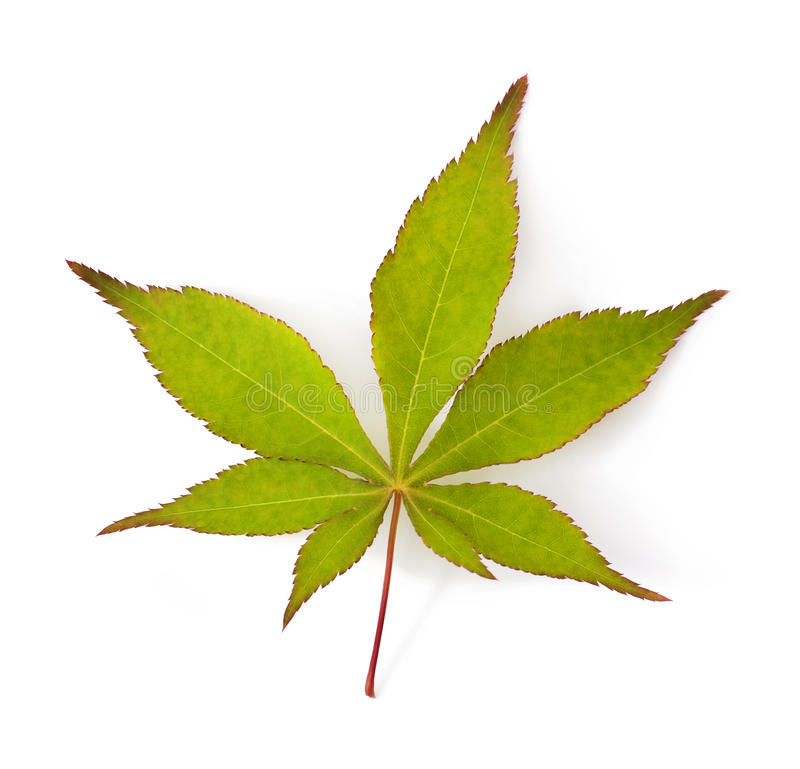 Japanese Maple Leaf Stock Photo Image 41556151
