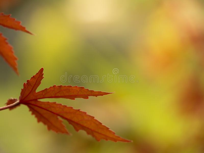 Japanese Maple leaves changing to red color, great for Autumn background. stock images