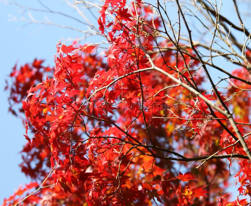 Japanese maple leaves royalty free stock image