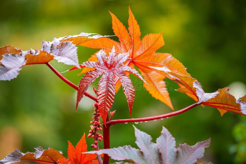 Japanese maple leaves royalty free stock images