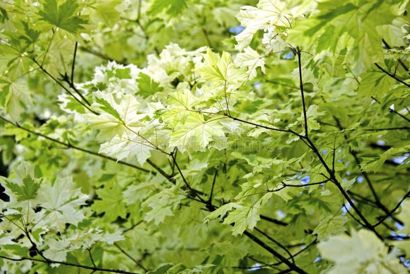 Download Japanese maple leaves stock image. Image of maple, freshness - 41892609